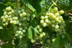 Grapes grown in the garden Royalty Free Stock Images