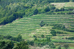 Grapes grown on terraces Stock Image