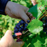 Grapes in hands. Grapes harvest. Farmers hands with freshly harvested black grapes Royalty Free Stock Photo