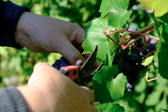 Grapes in hands Stock Photo