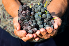 Grapes in hands Stock Image