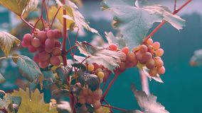 Grapes hang on a Bush and ripen. In the summer stock footage