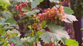 Grapes hang on a Bush and ripen. In the summer stock video footage