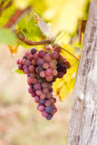 Grapes hang from a vine Royalty Free Stock Photos