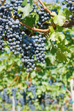 Grapes Hang From a Vine. Organic Grapes in Autumn. Vineyards on a Sunny Day in Autumn Harvest Stock Image