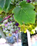 Grapes hanging on branches. Close-up of grapes hanging on branches in a yard, Greece Royalty Free Stock Image
