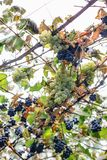 Grapes hanging on a bush. Stock Image