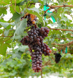grapes hanging from lush green vine with blurred vineyard Royalty Free Stock Photography