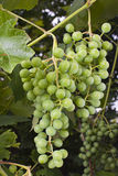 Grapes hanging on the vine. Bunches of wine grapes hanging on a a vine in a vinyard Stock Image