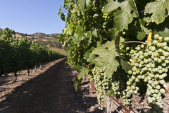 Grapes hanging on the vine. Grapes in the vineyard in Napa Valley, California Royalty Free Stock Image