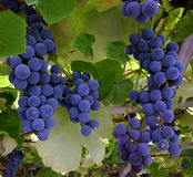 Grapes Hanging from a Vine Stock Photo