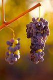 Grapes hanging in vine Royalty Free Stock Image