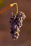 Grapes hanging in vine Stock Images