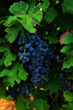 Grapes hanging from a vine Stock Images