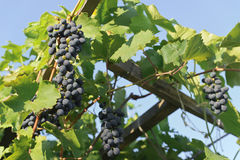 Grapes hanging on the vine Royalty Free Stock Photography