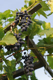 Grapes hanging on the vine Stock Photos