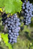 Grapes hanging from a vine Barbera Stock Image