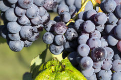 Grapes hanging from a vine Barbera Royalty Free Stock Photography