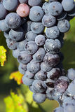 Grapes hanging from a vine Barbera Stock Photo