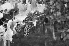 Grapes hanging on the vine. In black and white Royalty Free Stock Image