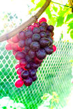 Grapes hanging on a vine. Fresh red grapes hanging on a vine Royalty Free Stock Photo