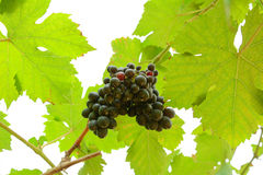Grapes hanging on the vine Royalty Free Stock Images