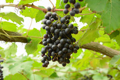 Grapes hanging on the vine Stock Image