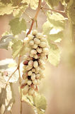 Grapes hanging on the vine -vintage tone Stock Photos
