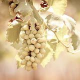 Grapes hanging on the vine -vintage tone Royalty Free Stock Photo