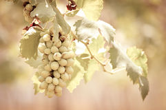 Grapes hanging on the vine -vintage tone Stock Photo