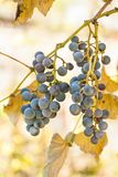 Grapes hanging from a vine, warm background color. Royalty Free Stock Photo