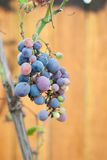 Grapes hanging from a vine, warm background color. Royalty Free Stock Images