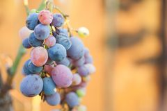 Grapes hanging from a vine, warm background color. Stock Photo