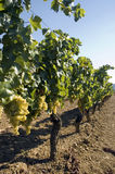 Grapes hanging from vines. In vineyard Royalty Free Stock Photography