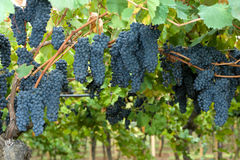 Grapes hanging in a vineyard Royalty Free Stock Photography