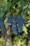 Grapes hanging in a vineyard Royalty Free Stock Image