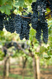 Grapes hanging in a vineyard Stock Images