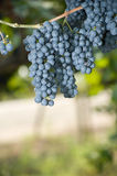 Grapes hanging in a vineyard Stock Photos