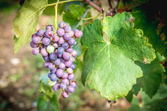 Grapes hanging in vineyard in autumn harvest season Stock Photography