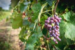 Grapes hanging in vineyard in autumn harvest season Stock Photo