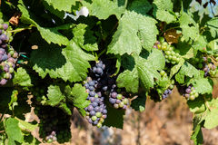 Grapes hanging on wine in wine making region Stock Photo