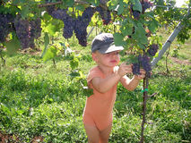 Grapes harvest. Boy eating grape picking it form the trees stock image