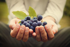 Grapes Harvest Royalty Free Stock Image