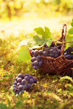 Grapes harvest. Autumn nature in vineyard with basket of grapes Royalty Free Stock Photos