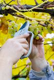 Farmer harvest white grapes. Grapes harvest. Farmer is cutting a ripe white grapes in vineyard royalty free stock images