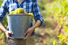 Grapes harvest. Farmer with freshly harvested grapes. Stock Photography