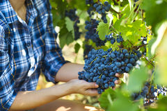Grapes harvest. Farmer with freshly harvested grapes. Stock Photo