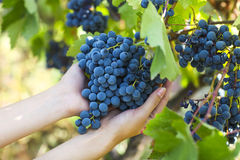 Grapes harvest. Farmer with freshly harvested grapes. Stock Images