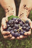 Grapes harvest Stock Images