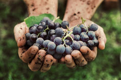 Grapes harvest Royalty Free Stock Photo